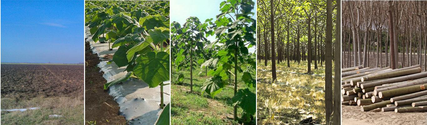 Paulownia trees